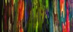 Three-Different-Rainbow-Eucalyptus-Trees-750x328